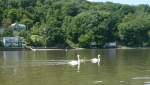 108-swans